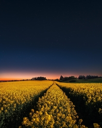 Midnight glow over canola field in Northern Denmark