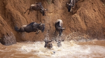 Migrating Wildebeests run into a river in Tanzania