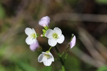 Milkmaids Cardamine californicaPoint Reyes National Seashore California