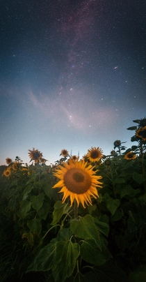 Milky Way over a sunflower in Denmark