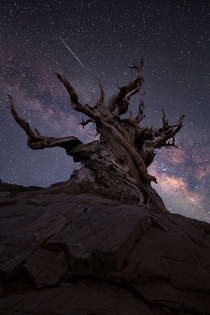 Milky Way over an Ancient Bristlecone Pine Sierra Mountains Califormia