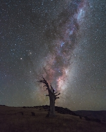Milky Way rising over a dead tree in Banks Peninsula New Zealand
