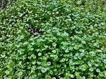 Miners Lettuce Claytonia perfoliata  x   - It is the finest of wild greens for a salad httpshonest-foodneton-miners-lettuce-americas-gift-to-salad