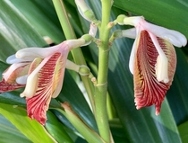 Miniature Ginger - Alpinia calcarata
