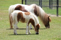 Miniature horses Santa Ynez Valley California