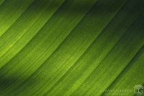 Minimalist shot of late afternoon sunlight shining through a large bird of paradise leaf