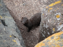 Mink on the Presque Isle breakwater Marquette MichiganNeovison visonOC