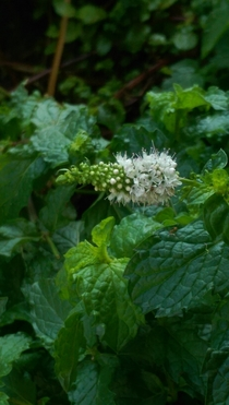 Mint flower mid-bloom Mentha spicata I think