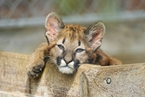 Mirka the Cougar Cub Puma concolor - Frauenfeld Switzerland