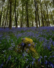 Missing the bluebells this year but excited to see them again next year with luck Brecon Beacons National Park Wales
