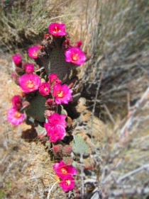 Mojave Desert cacti in bloom