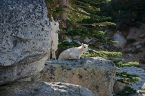 Mom and baby Mt goat Colchuck Lake The Enchantments Leavenworth WA