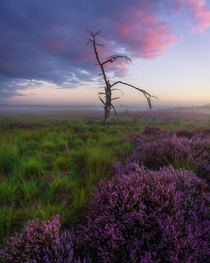 Moments before sunrise - blooming heather in the Netherlands
