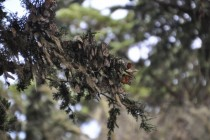 Monarch Butterflies Danaus plexippus mid-migration in Pacific Grove California