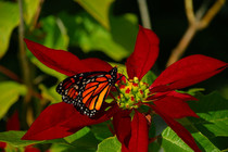 Monarch Butterfly Danaus plexippus perching on a flower