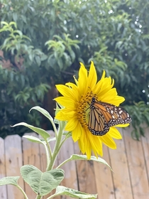 Monarch butterfly on a Sunflower