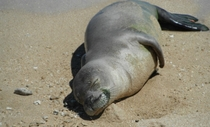 Monk Seal napping on the beach OC