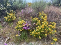 Monkey Flowers Phlox Chamise Sage and Golden Yarrow flowering in the Verdugo Mountains