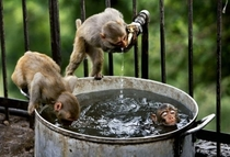 Monkeys drinking and bathing
