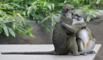 Monkeys sharing a moment