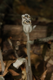 Monotropa uniflora ghost plant Indian pipe parasitic plant that uses mycorrhizal fungi to syphon nutrients from conifer roots Seen at Squam Lake New Hampshire