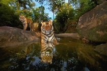 -month old female tiger Panthera tigris Bandhavgarh National Park in India Steve Winter National Geographic Creative