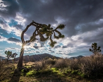 Moody morning sunburst through a Joshua Tree