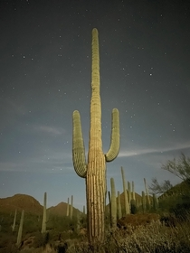Moonlit saguaro cactus in Tucson Arizona