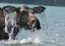 Moose Alces alces emerging from the water after munching on some aquatic plants Cathy Parsons