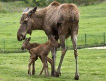 Moose calves make their debut at Berlin Zoo