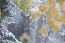 Moose in a Fall snow shower Alces alces