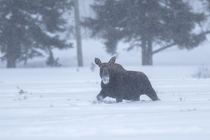 Moose in a Snowstorm in Yellowstone National Park