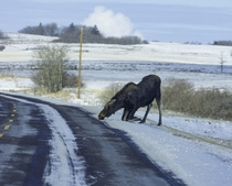 Moose licking salt off the road in Saskatchewan Canada  x