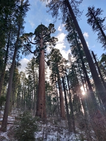More giant Sequoias in Big Trees State Park CA x
