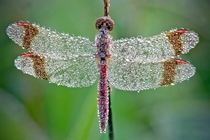 Morning dew on a dragonfly