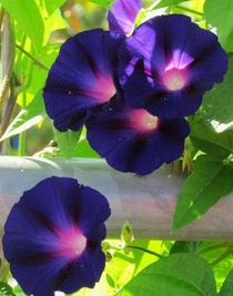 Morning glories x