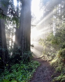 Morning light filtering through redwoods at Prairie Creek CA