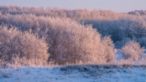 Morning light hits a frosty Saskatchewan woodland