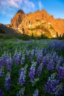 Morning light illuminating Three Fingered Jack above a field of lupine in the Central Oregon Cascades