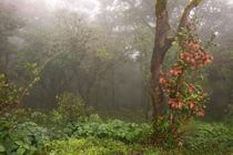 Morning mist in Kodachadri  Western Ghats  India