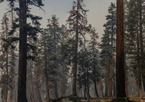 Morning sunlight shining through the smoky canopy Sierra National Forest CA OC