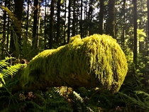 Moss covered log basking in the sun - Tiger Mountain WA