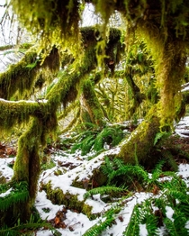 Moss ferns and snow in Olympic National Park a few years ago Washington US  ignatureprofessor