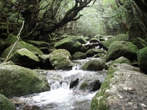 Moss forest - Yakushima Japan x OC