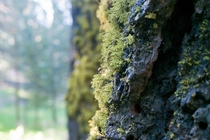 Moss growing on pine tree in Sequoia National Forest Kings Canyon California