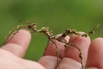 Moss Mimic Walkingstick