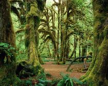 Mossy Wood in Hoh Rainforest Olympic National Park Washington