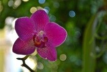 Moth Orchid Phalaenopsis in Rio de Janeiro Brazil