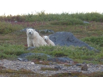 Mother and cub Polar Bears near Churchill Manitoba