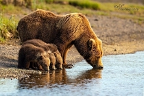 Mother Bear and cubs drinking